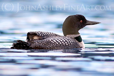 """Peekaboo Loon Chick."""