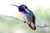 """Costa's Hummingbird (male)."""