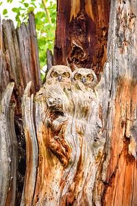 Curious Owlets