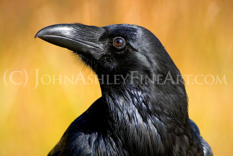 """""""Curious Raven."""""""