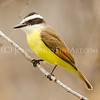 """Great Kiskadee"""