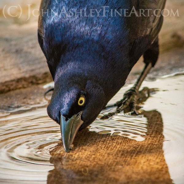 """Thirsty Grackle."""