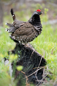 """Spruce Grouse on Burned Log"""