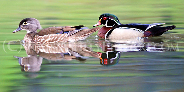"""Wood Duck Pair"""