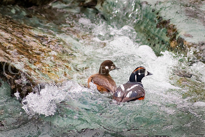 """Harlequin Duck Pair"""