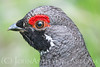 """Franklin's Spruce Grouse"""