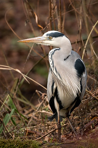 heron (reiger)
