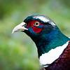 pheasant (fazant)