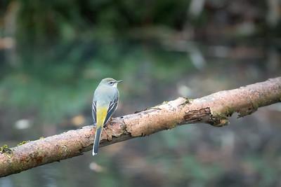 grey wagtail (grote gele kwikstaart)