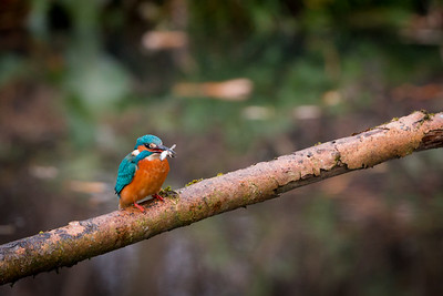 common kingfisher (ijsvogel)