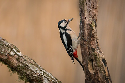 great spotted woodpecker (grote bonte specht)