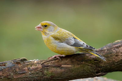 greenfinch (groenling)