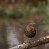 blackbird (merel)