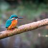 common kingfisher (ijsvogel)