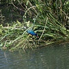 Purple Gallinule Adult shot on 041614 from 1st platform at Rookery