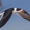 Black Skimmer in flight along East Beach in Galveston.