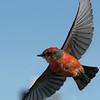 Vermillion Flycatcher in flight.  Open Composition.