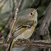 Ruby-crowned Kinglet female shot on 041714 at BSWs Blind.  3% crop.  The bird itself is probably 1.5% of the full-frame.