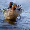 A 2.7% crop of the full-frame or (643x803)/(6048x4032).  A pair of Green-winged Teal.  Post-processed.