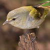 Tennessee Warbler female.