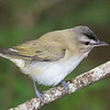 Red-eyed Vireo - Neat Image Test.