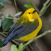 Prothonotary Warbler, male.