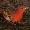 Summer Tanager, immature male.  Shot on 043015.