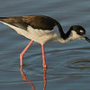 Black-necked Stilt female  at Cattail Marsh.
