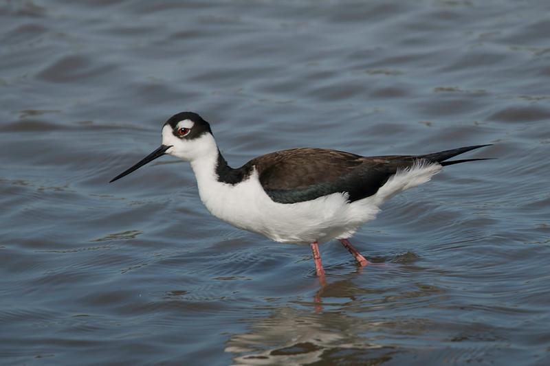 Black-necked Stilt female shot at Cattail Marsh on 020917.n