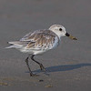 Sanderling.  This little guy was in high gear running up and down the beach at Texas City Dike.