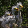 Great Egret Chicks.  Shot at apprx 100 feet, 7% crop.