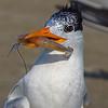 Royal Tern with shrimp in beak.  http://en.wikipedia.org/wiki/Royal_Tern