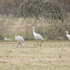 Sandhill Cranes shot along the west end of Sportsman Road on the south side.  Day was overcast and hazy.  Even though the sun was heavily cloud-filtered, the track was to the south or back of the birds.  This is right out of the camera(ROOC) converted to JPEG from RAW only.