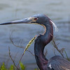 Tri-colored Heron portrait.  Shot along the Galveston Bay shoreline at the east side of the San Luis Pass bridge.