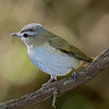 Red-eyed Vireo male.