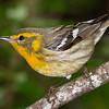 Blackburnian Warbler female.