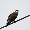 Osprey shot on way to Stewart Road with Mr. Mangum.  It was a cloudy, overcast, and hazy morning.  Right out of the camera, converted to JPEG only.