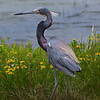 Tri-colored Heron.  Shot along the Galveston Bay shoreline at the east side of the San Luis Pass bridge.