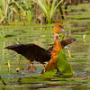 Fulvous Whistling Duck flapping those wings to stake out territory,  attract a female, of just drying off those wings prior to flight???