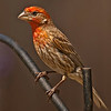 House Finch shot in backyard in 2009 from camo. blind.  Post processed on 10/16/12.  ACR  default shp and NR.