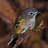 Blue-headed Vireo.  Post-processed approx. 6% crop of the previous full-frame image.  Adobe Camera Raw and CS5 and the Topaz plug-in InFocus were used to post-process this image.  One of the two flashes was mounted about 15 feet to the right of the camera, was the dominant light and was about 40 deg. to the camera axis.  The second flash was mounted just to the left of the camera's axis and acted as a fill flash with less intensity that the right-hand mounted flash.