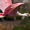 This is a 7% crop of the previous full frame shot of Roseate Spoonbill in flight.  Shot with Sony A900 24mp 1.0x crop body and Tamron Di200-500mm/4.5-6.3 lens @ 400mm/5.6.  Shot with +1/3 exposure bias, 250 ISO, F10,  The lens was pulled back to the point that focusing would be at F5.6 and exposure bias was to the right for improved signal to noise ratio.  A Wabcom tablet was used for isolation between subject and background.