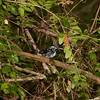 Black and White Warbler shot from the blind at BSWs on 4/25/11.  Shot with Sony A900 full-frame 24mp camera body and rental Sony 'G' series 70-400mm/4.0-5.6 lens.  F10, 200 ISO.  2 Model No. 58 Sony flashes were used.  This is a full-frame, converted only shot.