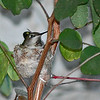 Mamma Hummingbird is sitting or her two eggs.<br /> Taken on 2-11-09
