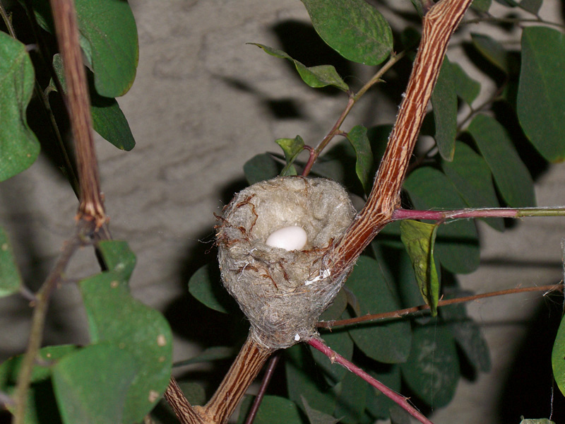 A new Hummingbird egg, then a second one came the next day!<br /> Taken on 2-08-09