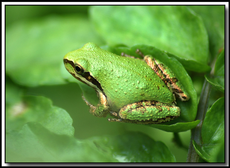A little tree frog