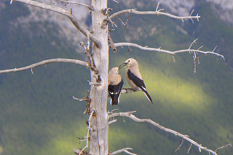 This Bird's play was captured at Banff Gandola top point