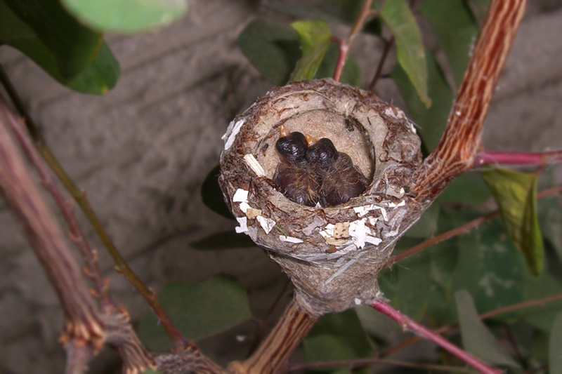 The two Hummingbird eggs have hatched!