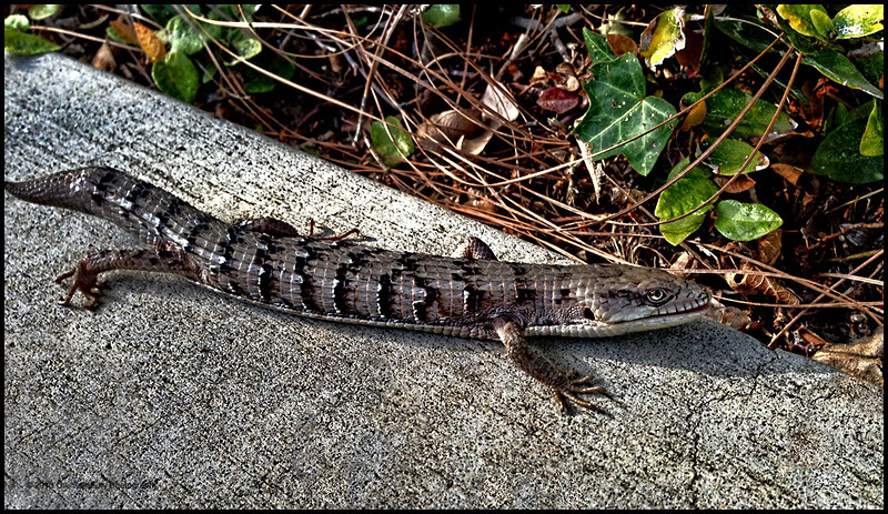 This Lizard was about 6 inches long and his head and body the size of a small snake. Cute!