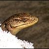 """6"""" Lizard"""